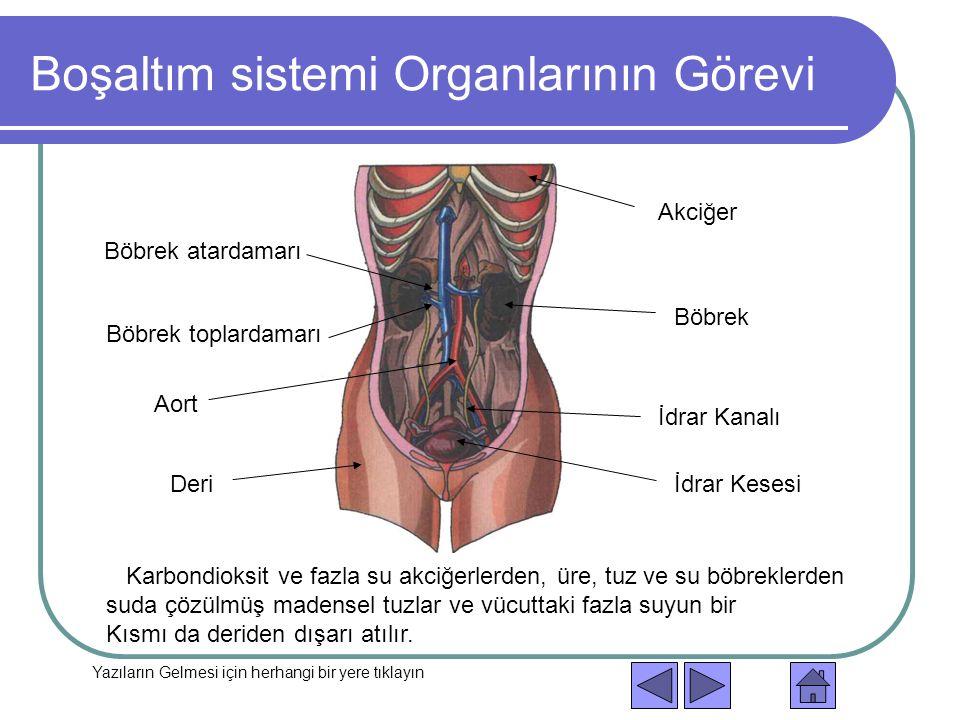 Boşaltım sistemi Organlarının Görevi