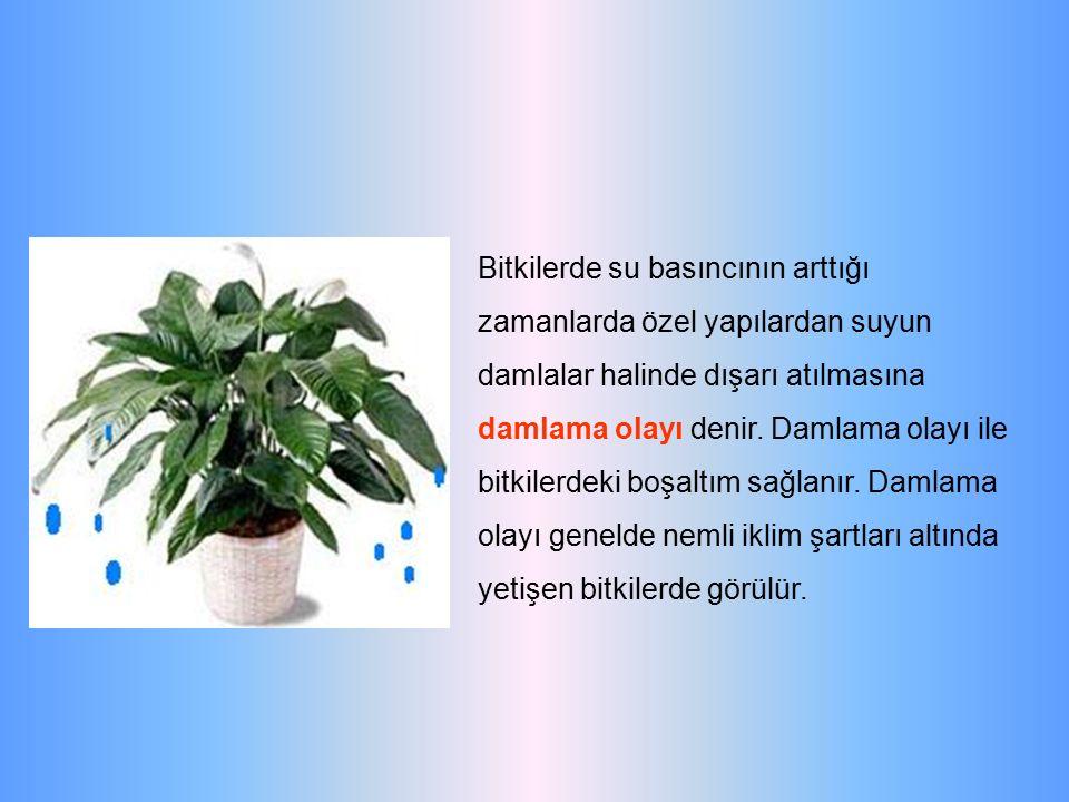 Bitkilerde su basıncının arttığı zamanlarda özel yapılardan suyun damlalar halinde dışarı atılmasına damlama olayı denir.