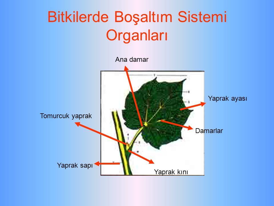 Bitkilerde Boşaltım Sistemi Organları