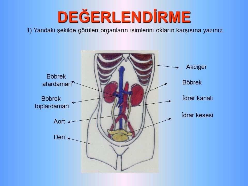 DEĞERLENDİRME 1) Yandaki şekilde görülen organların isimlerini okların karşısına yazınız. Akciğer.