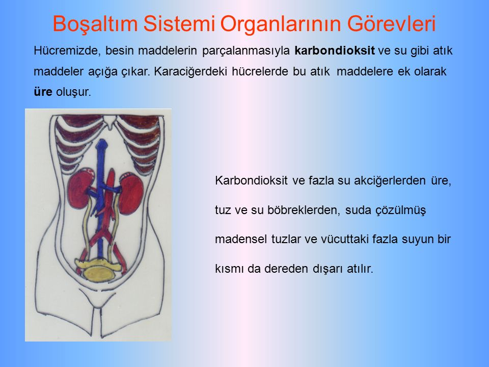 Boşaltım Sistemi Organlarının Görevleri