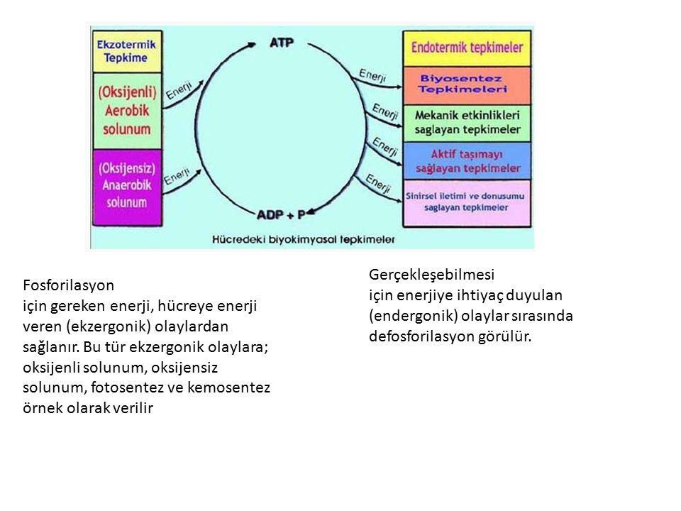 Gerçekleşebilmesi için enerjiye ihtiyaç duyulan (endergonik) olaylar sırasında. defosforilasyon görülür.