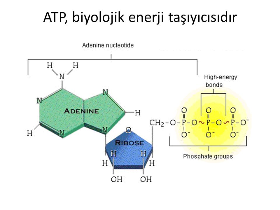 ATP, biyolojik enerji taşıyıcısıdır