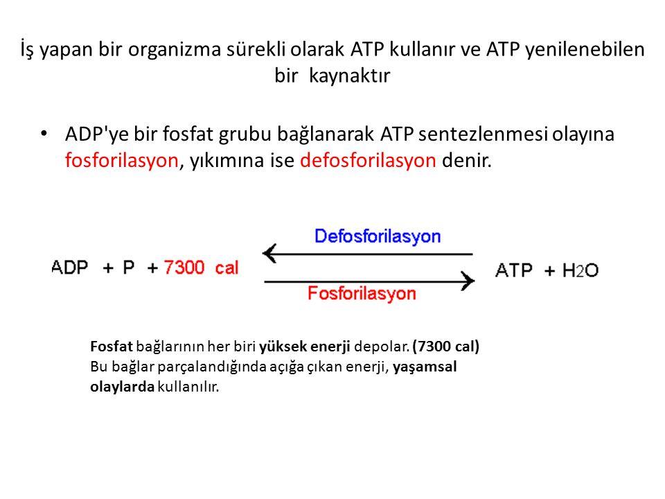 İş yapan bir organizma sürekli olarak ATP kullanır ve ATP yenilenebilen bir kaynaktır
