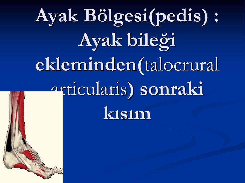 Ayak Bölgesi(pedis) : Ayak bileği ekleminden(talocrural articularis) sonraki kısım