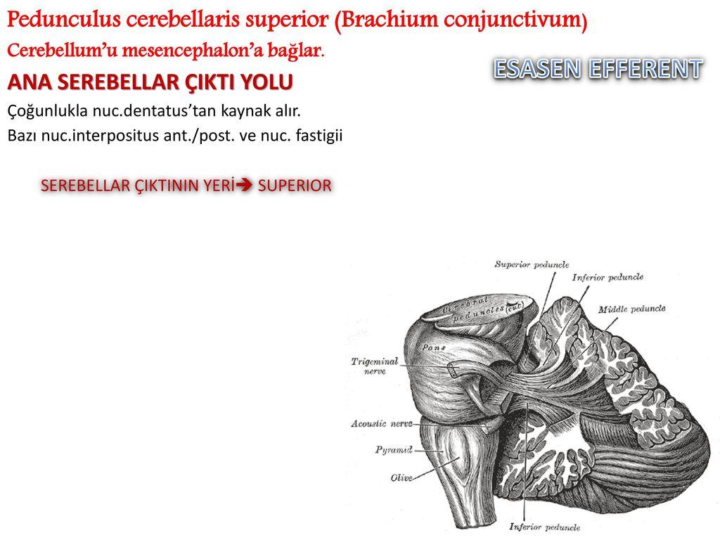 Ausgezeichnet Pedunculus Cerebellaris Galerie - Physiologie Von ...