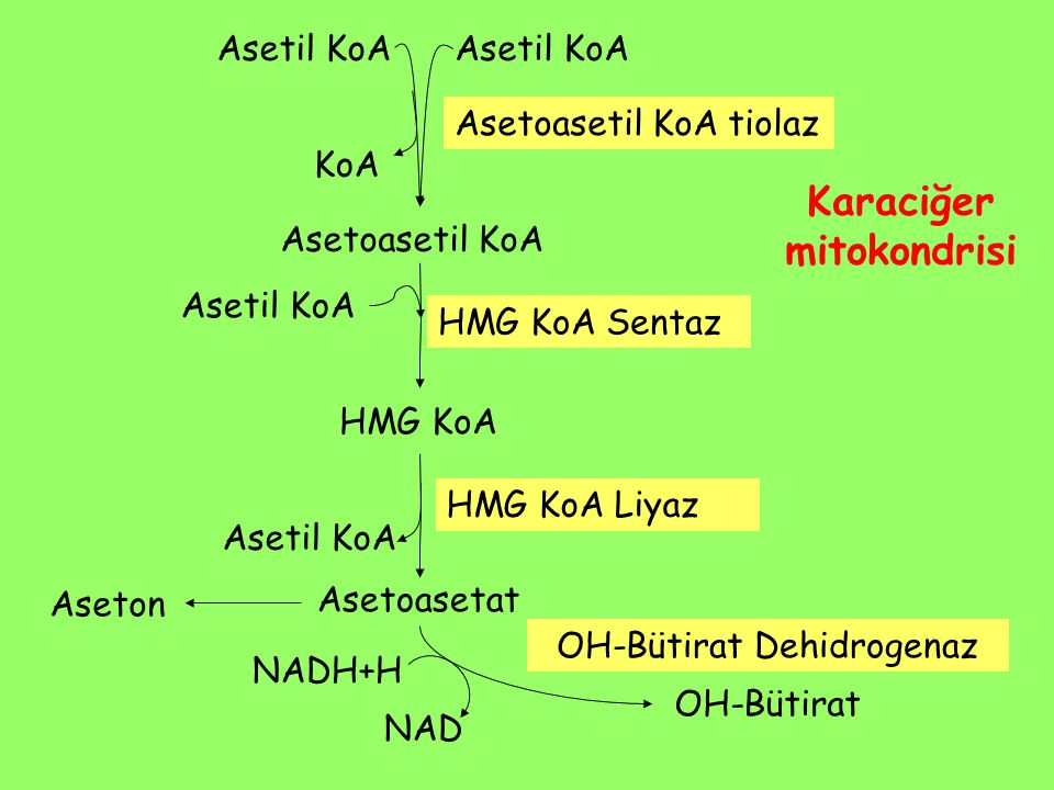 Karaciğer mitokondrisi