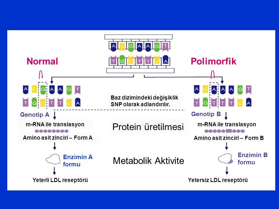 Protein üretilmesi Metabolik Aktivite Normal Polimorfik Genotip A