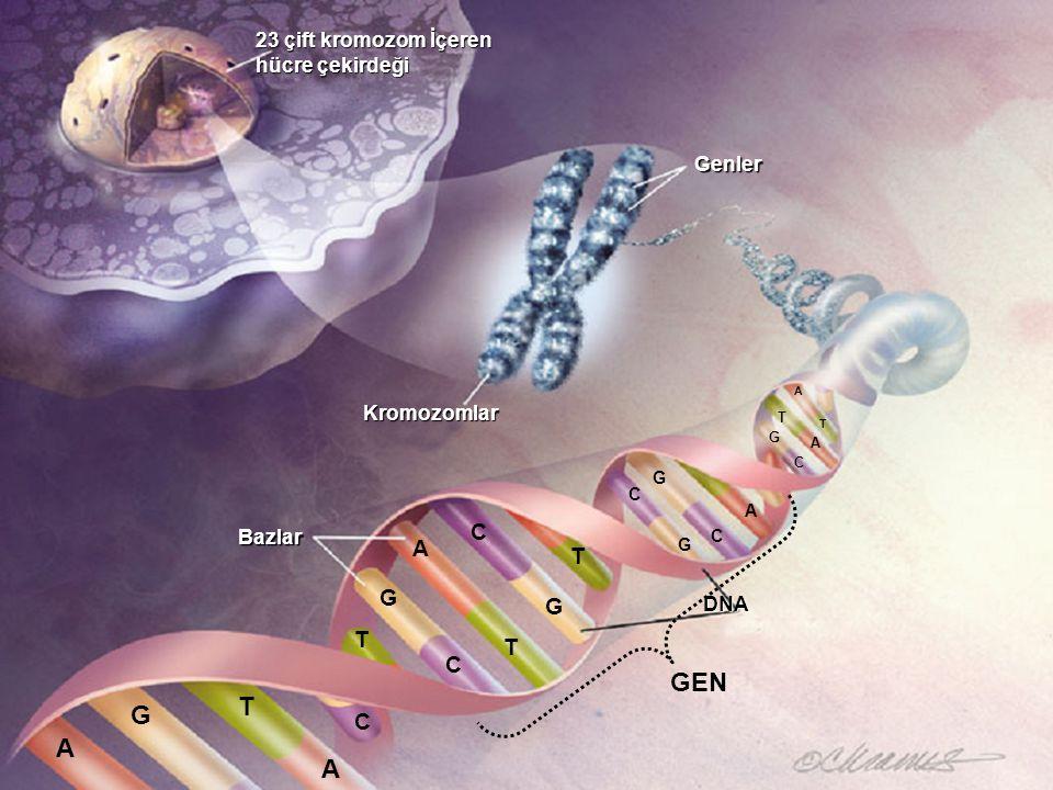 GEN T G A A C A T G G T T C C 23 çift kromozom İçeren hücre çekirdeği