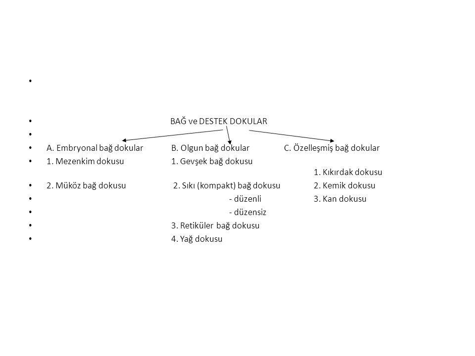 BAĞ ve DESTEK DOKULAR A. Embryonal bağ dokular B. Olgun bağ dokular C. Özelleşmiş bağ dokular.