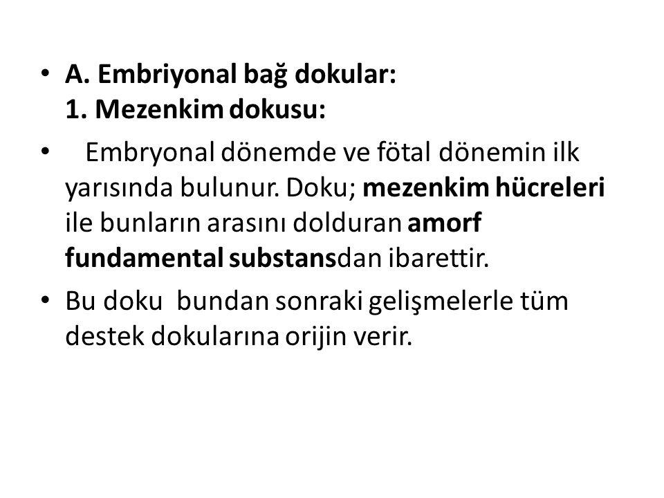 A. Embriyonal bağ dokular: 1. Mezenkim dokusu: