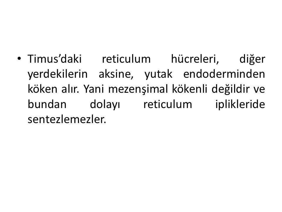 Timus'daki reticulum hücreleri, diğer yerdekilerin aksine, yutak endoderminden köken alır.