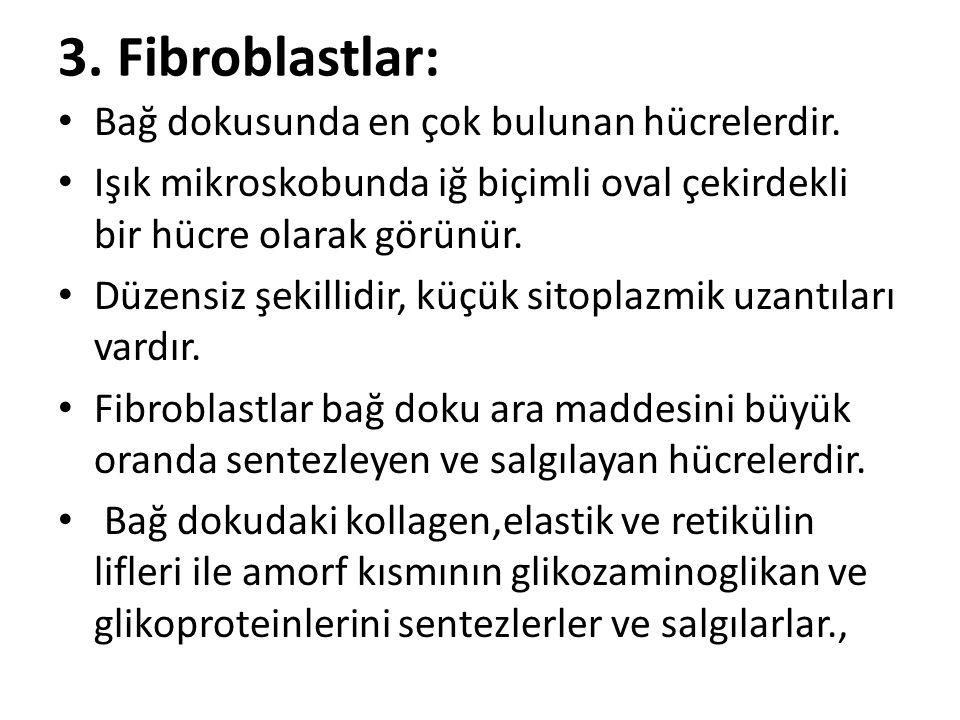 3. Fibroblastlar: Bağ dokusunda en çok bulunan hücrelerdir.