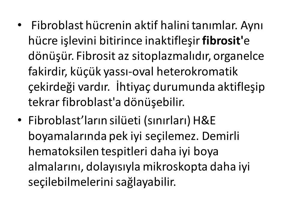 Fibroblast hücrenin aktif halini tanımlar