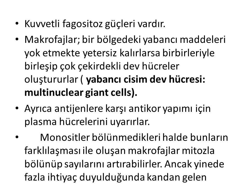 Kuvvetli fagositoz güçleri vardır.
