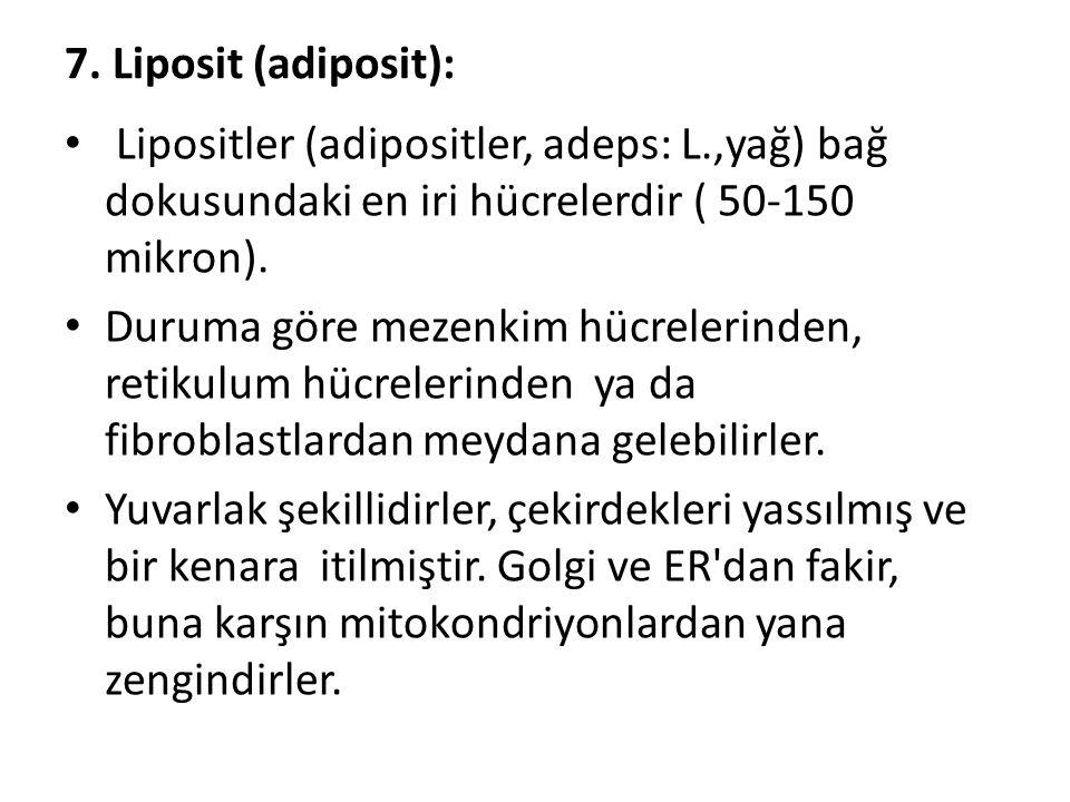 7. Liposit (adiposit): Lipositler (adipositler, adeps: L.,yağ) bağ dokusundaki en iri hücrelerdir ( 50-150 mikron).