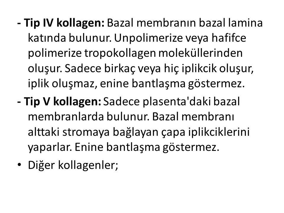 - Tip IV kollagen: Bazal membranın bazal lamina katında bulunur