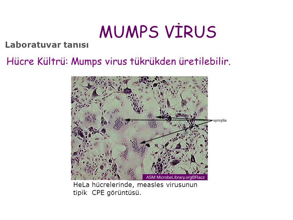 MUMPS VİRUS Hücre Kültrü: Mumps virus tükrükden üretilebilir.