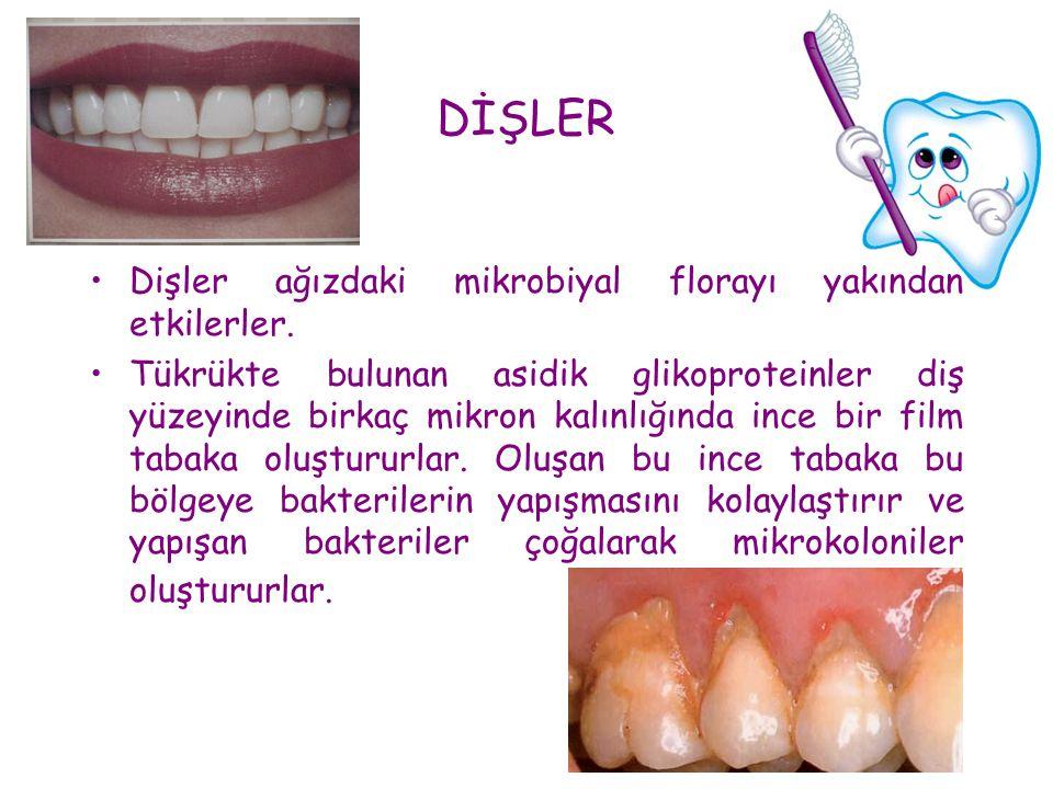 DİŞLER Dişler ağızdaki mikrobiyal florayı yakından etkilerler.