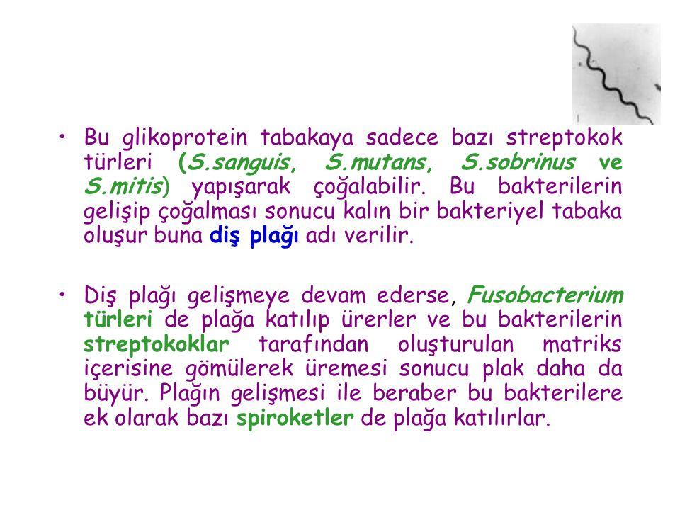 Bu glikoprotein tabakaya sadece bazı streptokok türleri (S. sanguis, S