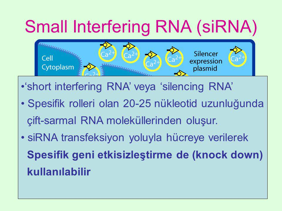 Small Interfering RNA (siRNA)