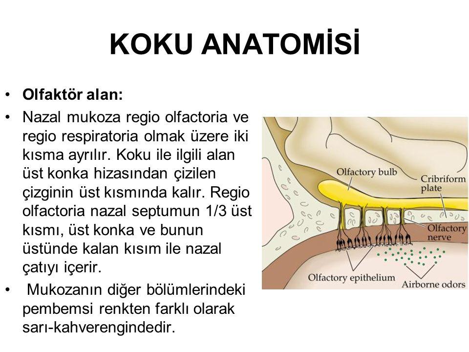KOKU ANATOMİSİ Olfaktör alan:
