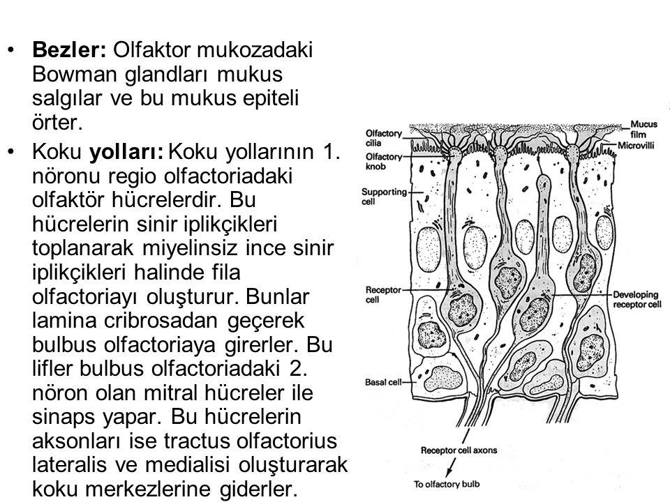 Bezler: Olfaktor mukozadaki Bowman glandları mukus salgılar ve bu mukus epiteli örter.