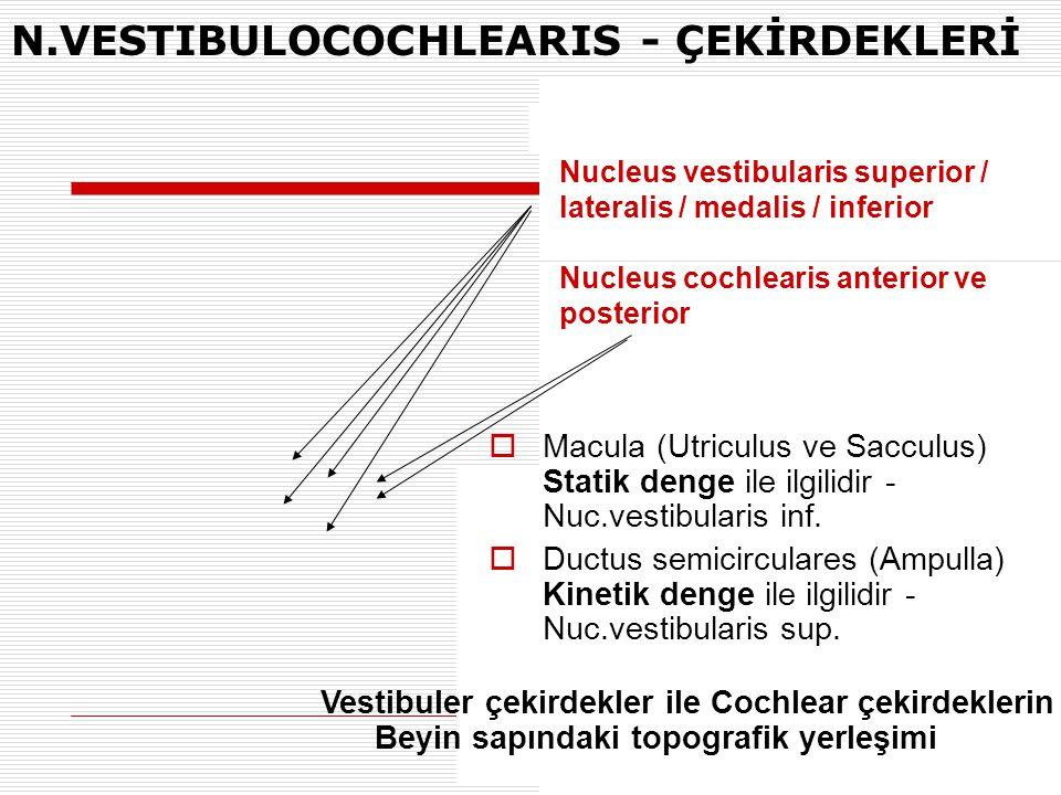 N.VESTIBULOCOCHLEARIS - ÇEKİRDEKLERİ