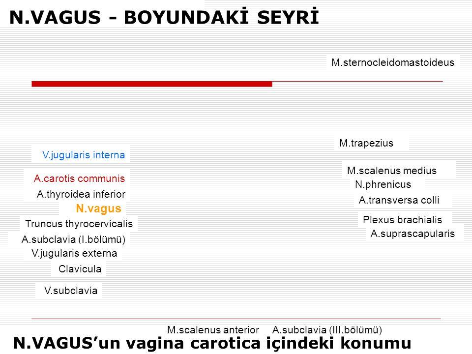 N.VAGUS - BOYUNDAKİ SEYRİ