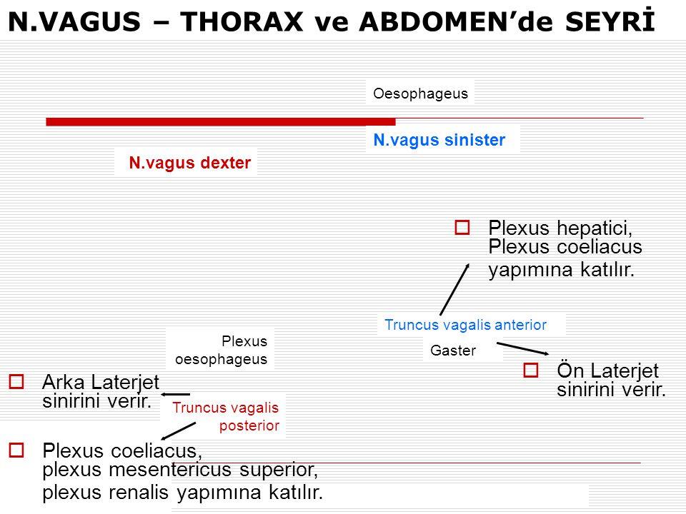 N.VAGUS – THORAX ve ABDOMEN'de SEYRİ