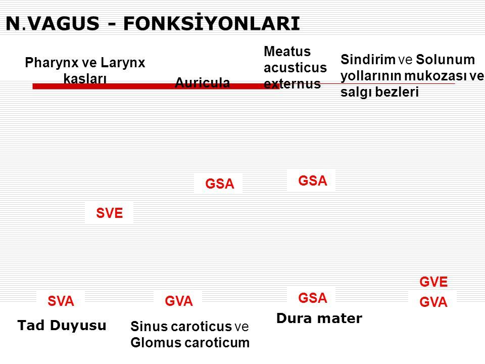 Pharynx ve Larynx kasları