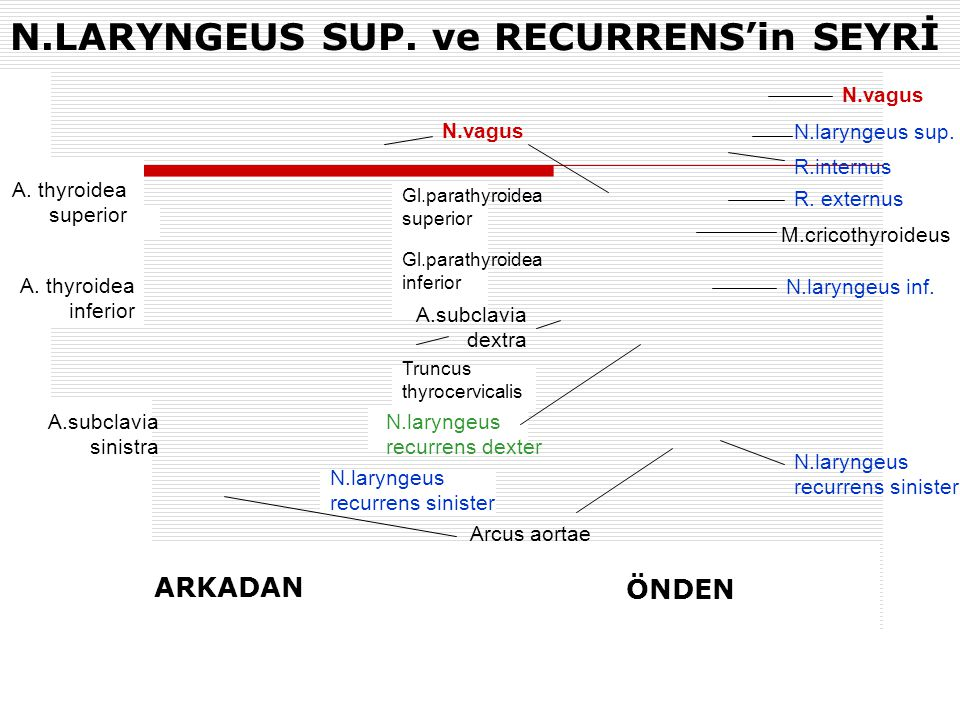 N.LARYNGEUS SUP. ve RECURRENS'in SEYRİ