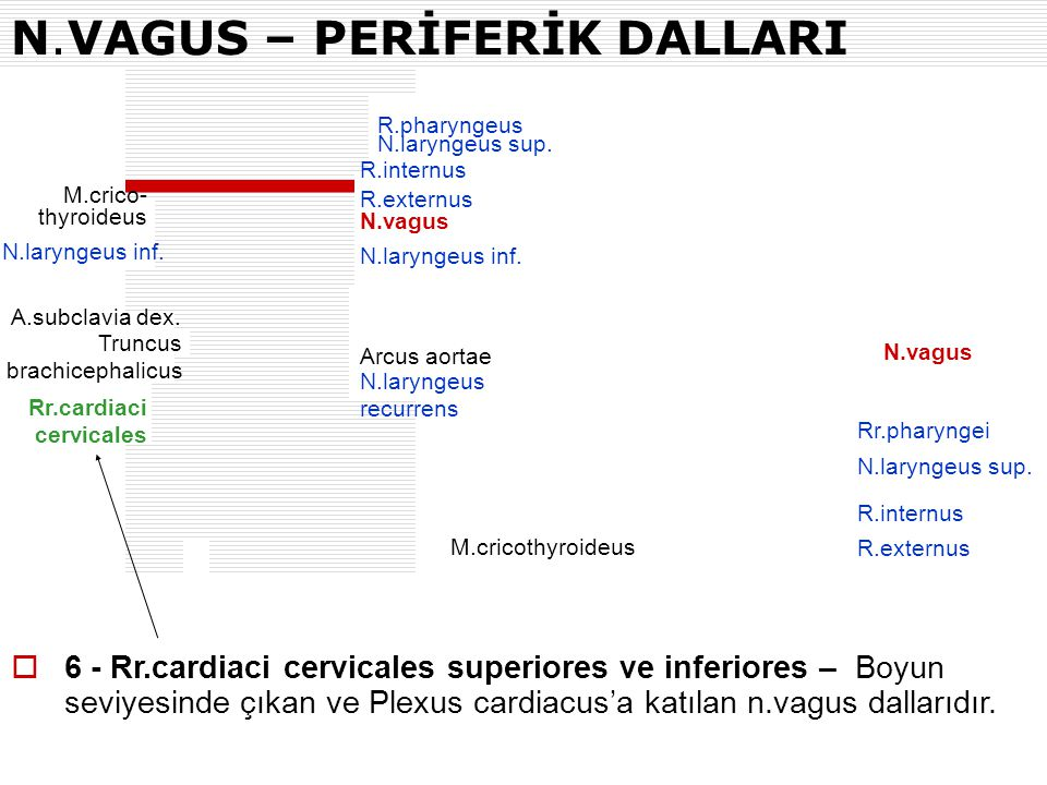 N.VAGUS – PERİFERİK DALLARI