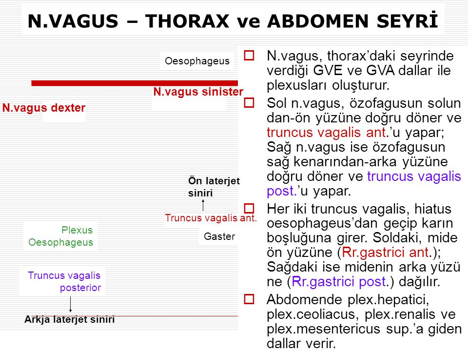 N.VAGUS – THORAX ve ABDOMEN SEYRİ