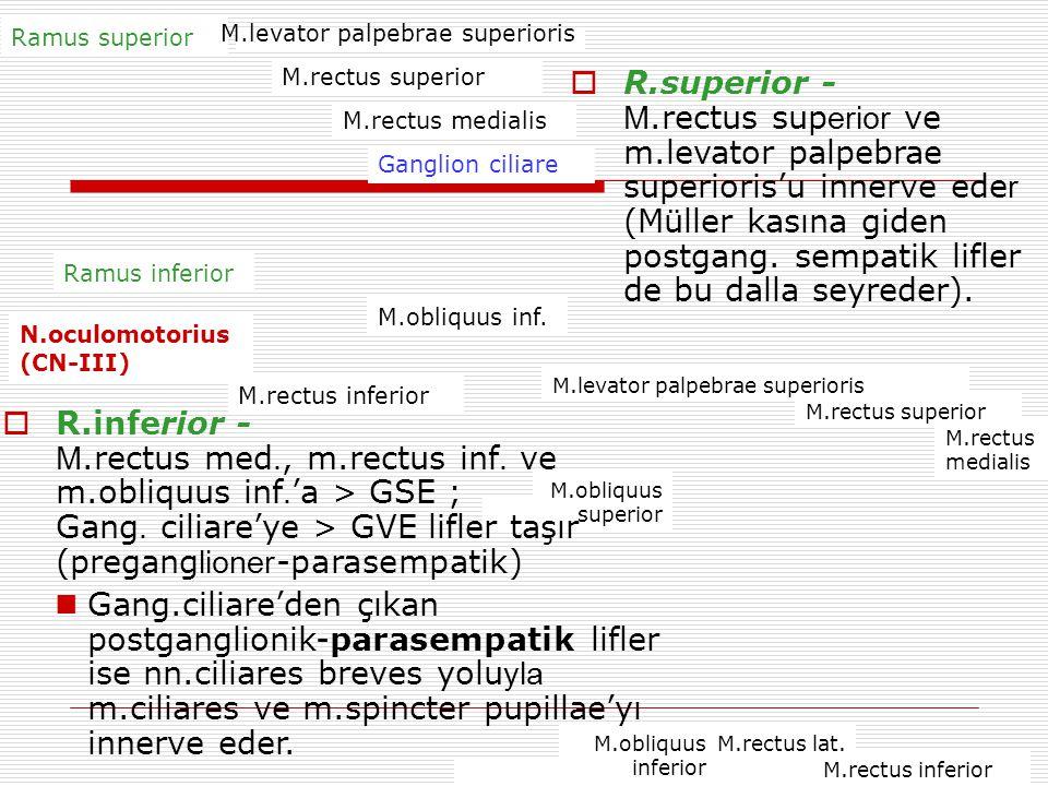 Ramus superior M.levator palpebrae superioris. M.rectus superior.