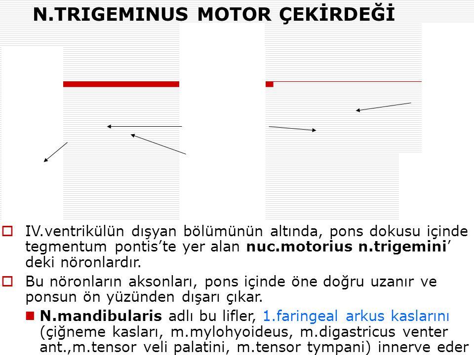 N.TRIGEMINUS MOTOR ÇEKİRDEĞİ