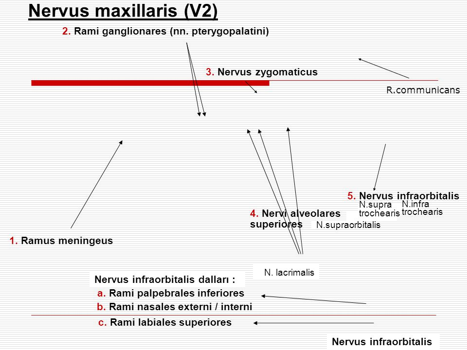 Nervus maxillaris (V2) 2. Rami ganglionares (nn. pterygopalatini)