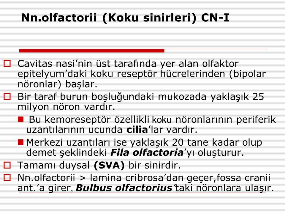 Nn.olfactorii (Koku sinirleri) CN-I