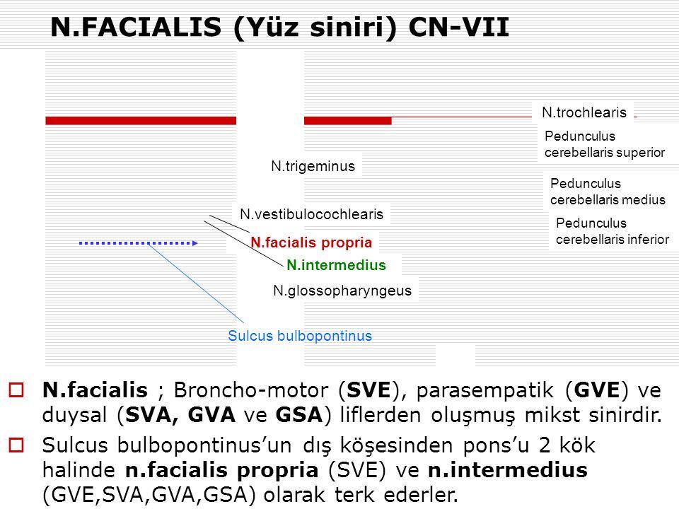 N.FACIALIS (Yüz siniri) CN-VII