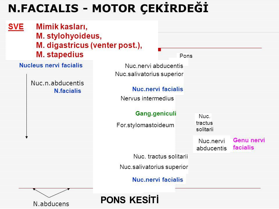 N.FACIALIS - MOTOR ÇEKİRDEĞİ