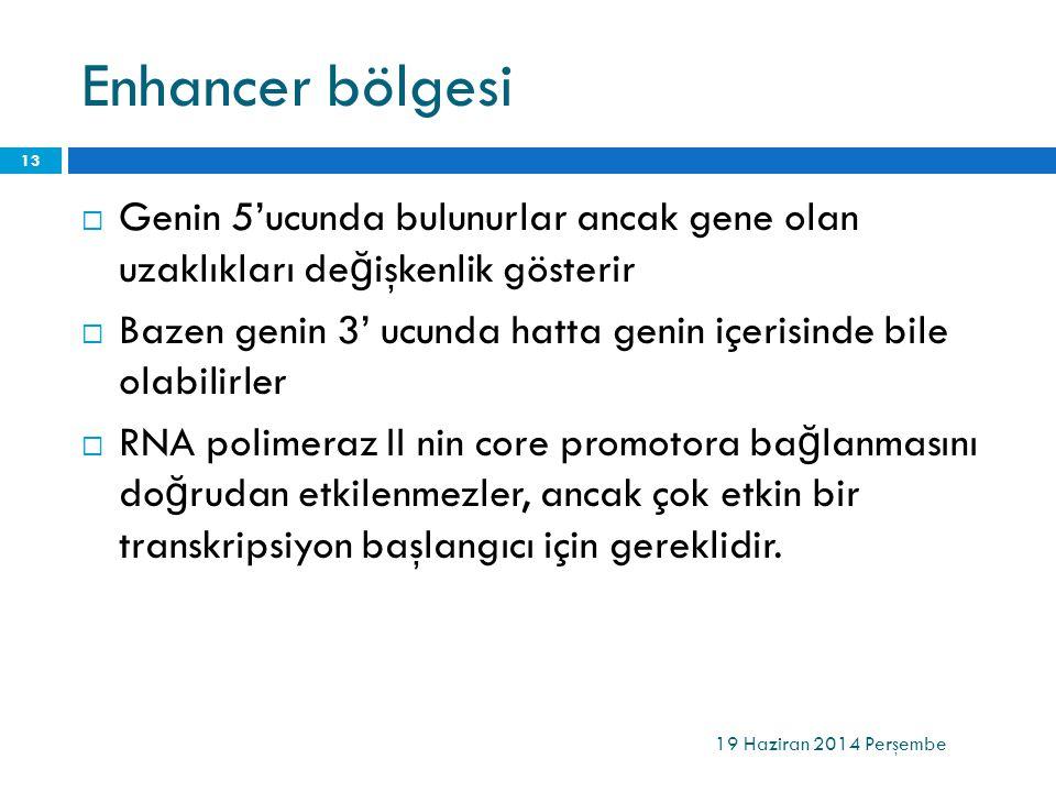 Enhancer bölgesi Genin 5'ucunda bulunurlar ancak gene olan uzaklıkları değişkenlik gösterir.