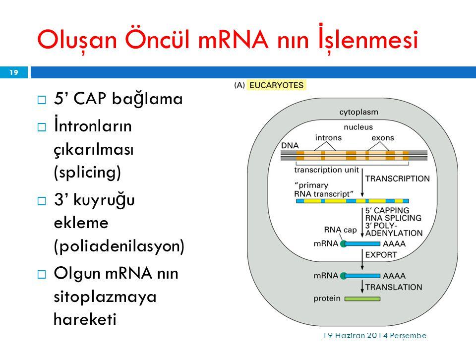 Oluşan Öncül mRNA nın İşlenmesi