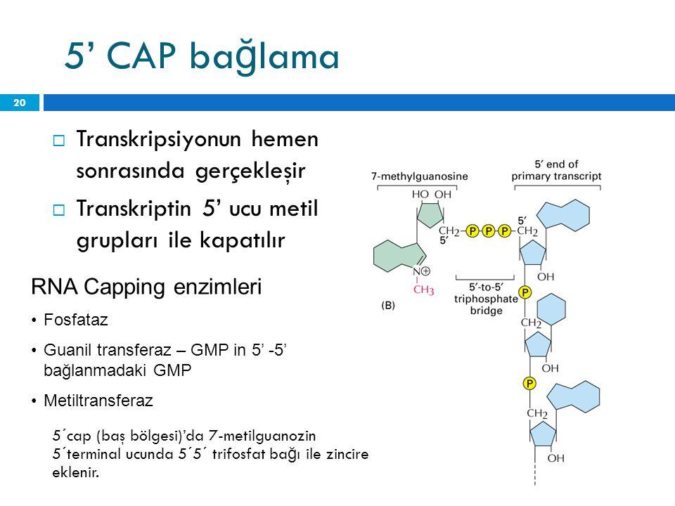 5' CAP bağlama Transkripsiyonun hemen sonrasında gerçekleşir