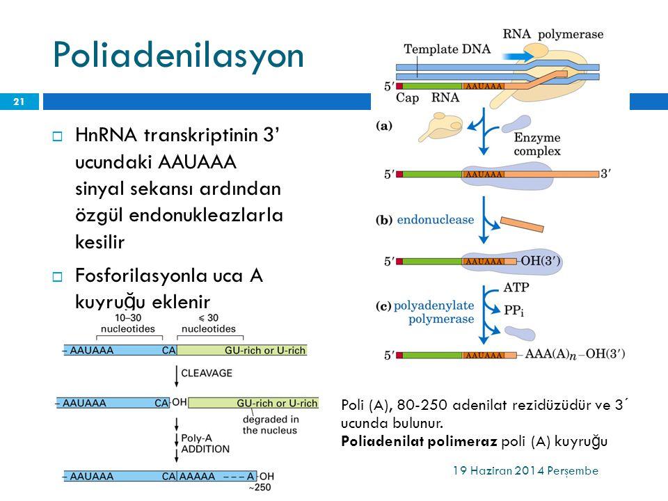 Poliadenilasyon HnRNA transkriptinin 3' ucundaki AAUAAA sinyal sekansı ardından özgül endonukleazlarla kesilir.