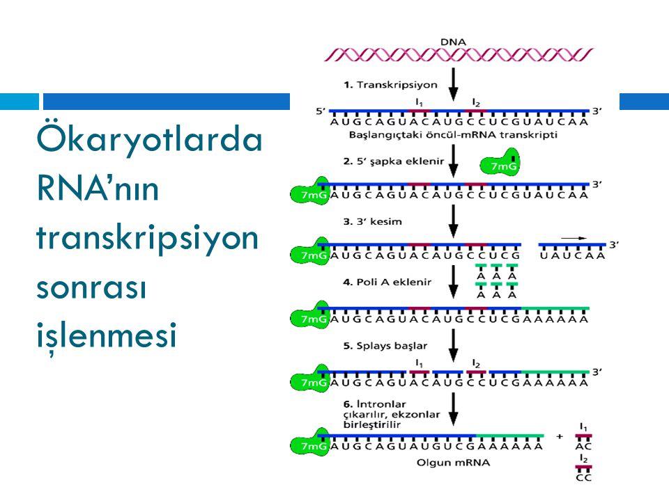 Ökaryotlarda RNA'nın transkripsiyon sonrası işlenmesi