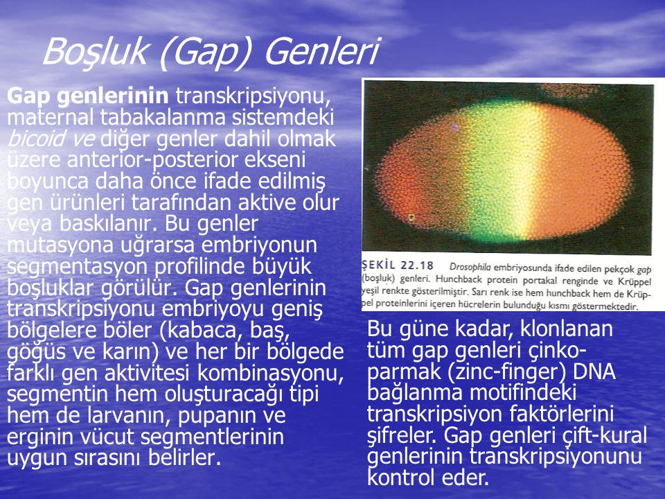 Boşluk (Gap) Genleri