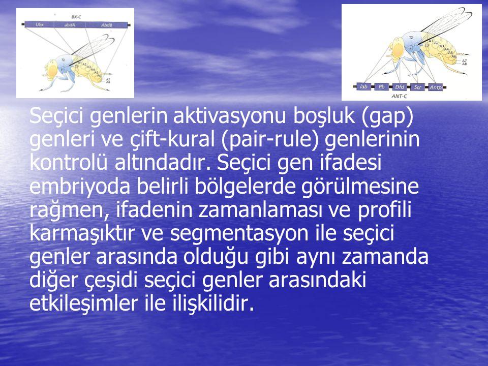 Seçici genlerin aktivasyonu boşluk (gap) genleri ve çift-kural (pair-rule) genlerinin kontrolü altındadır.