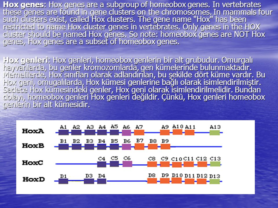 Hox genes: Hox genes are a subgroup of homeobox genes