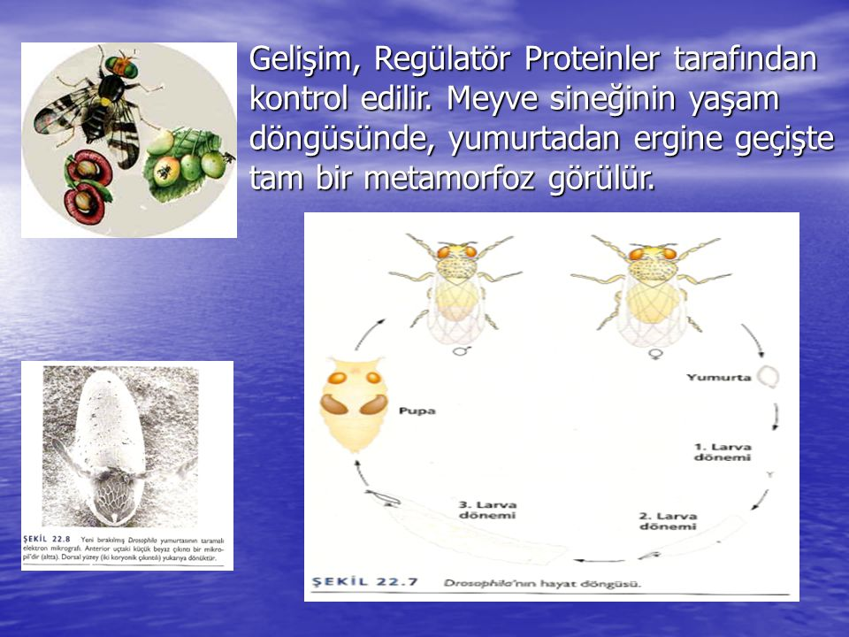 Gelişim, Regülatör Proteinler tarafından kontrol edilir