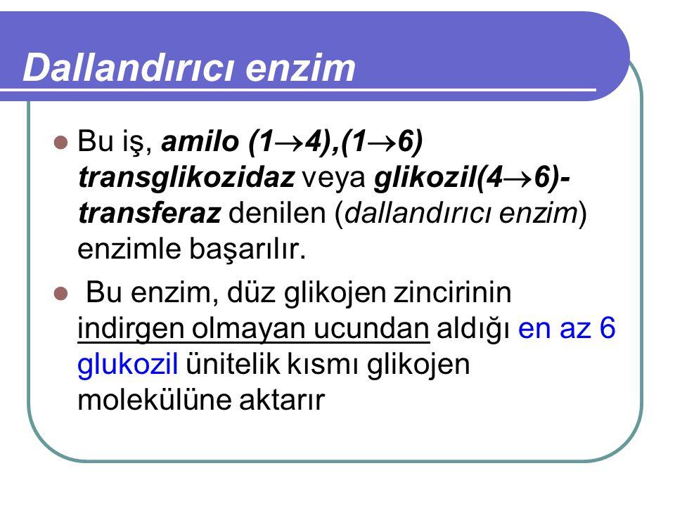 Dallandırıcı enzim Bu iş, amilo (14),(16) transglikozidaz veya glikozil(46)-transferaz denilen (dallandırıcı enzim) enzimle başarılır.